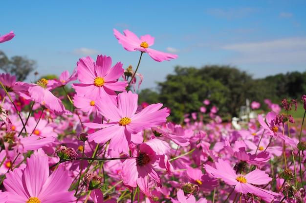 Różowy Kosmosu Kwiat Z Zielonymi Liśćmi W śródpolnym Tle Premium Zdjęcia