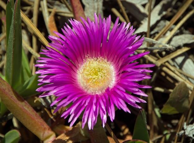 Różowy Kwiat Karkalla Darmowe Zdjęcia