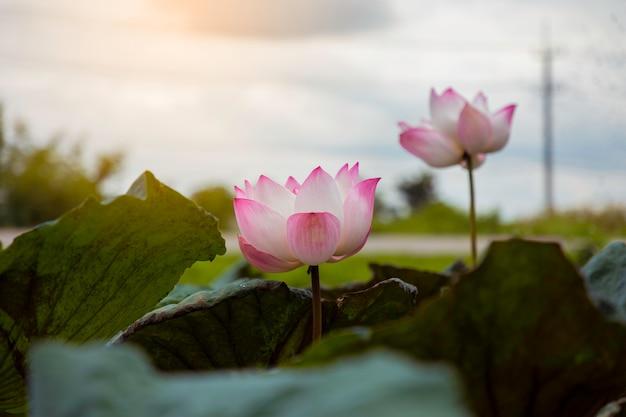 Różowy Kwiat Lotosu I Zielone Liście Premium Zdjęcia