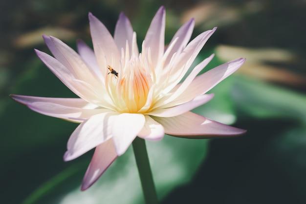 Różowy Kwiat Lotosu Premium Zdjęcia