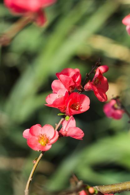 Różowy Kwiat śliwki Japońskiej Premium Zdjęcia