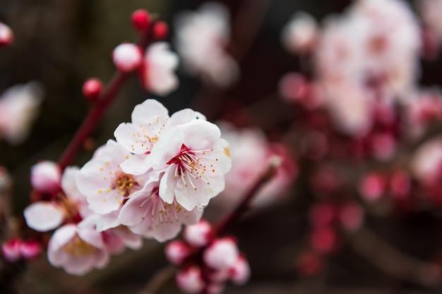 Różowy sakura w pełnym rozkwicie lub kwiat wiśni Premium Zdjęcia