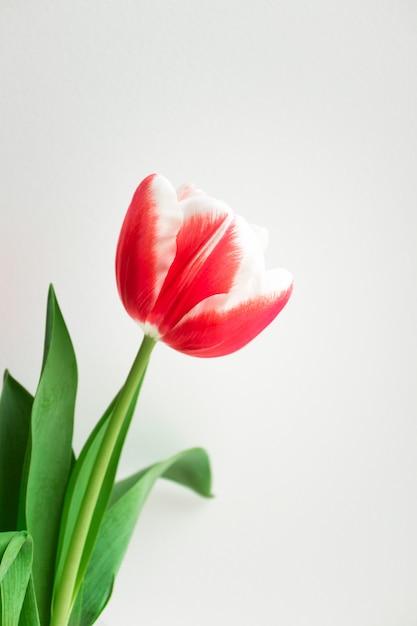 Różowy Tulipan Minimalistyczna Pocztówka Na Urodziny, Walentynki, Dzień Matki, ślub Lub Inne święta. Piękny Kwiatek, Pionowy Premium Zdjęcia