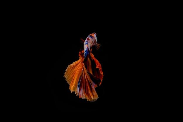 Ruch Syjamska Betta Ryba Odizolowywająca Na Czarnym Tle. Premium Zdjęcia