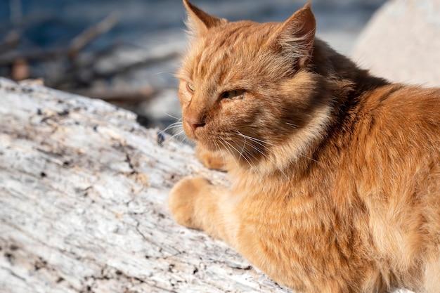 Rudy Kot Leżący Na Skałach W Pobliżu Wybrzeża Morza Egejskiego W Grecji Darmowe Zdjęcia