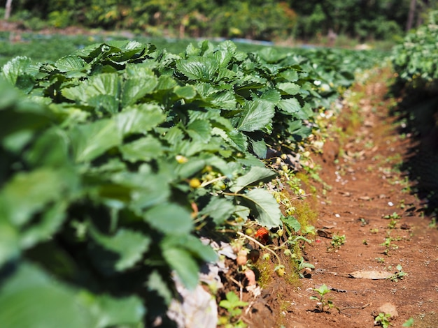 Rząd truskawkowa plantacja w zielonym gospodarstwie rolnym Premium Zdjęcia