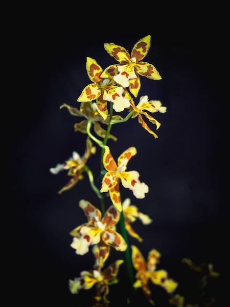 Rzadka Ozdobna Orchidea. Kwiat Małych żółtych Storczyków, Członek Rodziny Storczyków (orchidaceae) Premium Zdjęcia