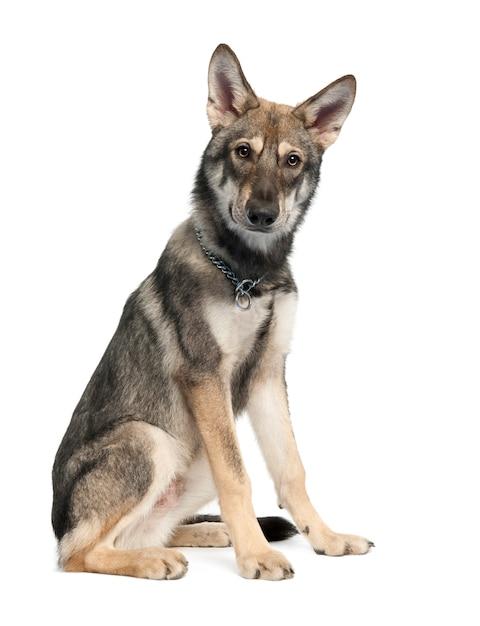 Saarloos Wolf Dog Szczeniak W Wieku 5 Miesięcy. Portret Psa Na Białym Tle Premium Zdjęcia