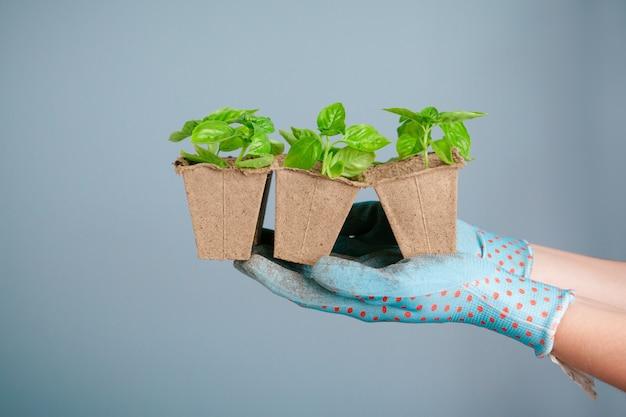 Sadzenie sadzonek w szklarni w wiosny zakończeniu up Premium Zdjęcia