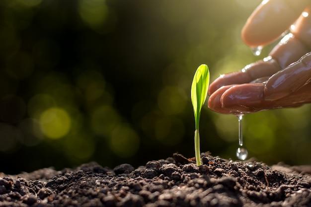 Sadzonki Kukurydzy Wyrastają Z Gleby. Premium Zdjęcia