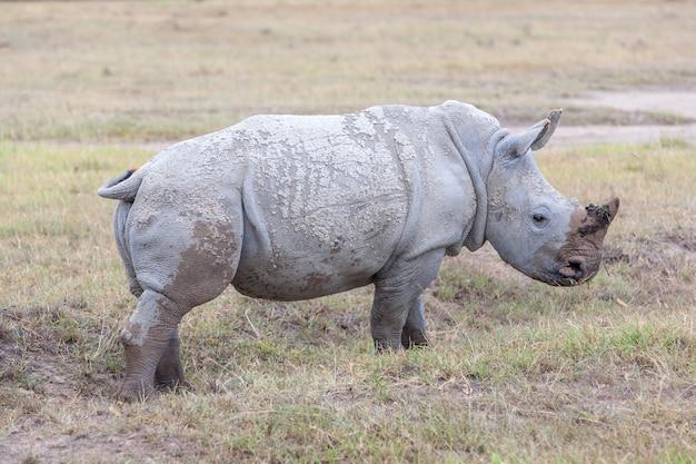 Safari - Nosorożce Na Trawie Darmowe Zdjęcia