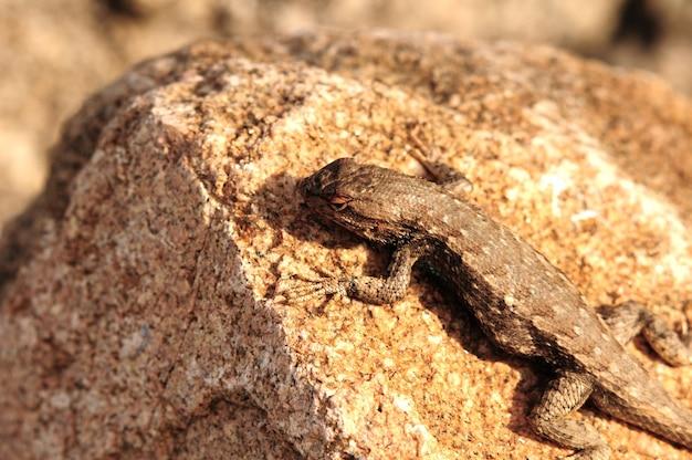 Sagebrush Lizard Darmowe Zdjęcia