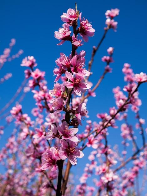 Sakura Kwiaty Kwitnące Kwitną W Tajlandii Premium Zdjęcia