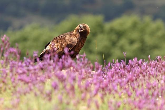 Samica Orła Przedniego Wśród Fioletowych Kwiatów Z Pierwszym światłem Poranka Premium Zdjęcia