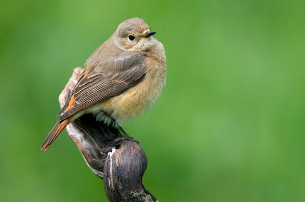 Samica Pospolita Na Nowo Z Ostatnimi światłami Popołudnia, Ptaki, Phoenicurus Phoenicurus Premium Zdjęcia