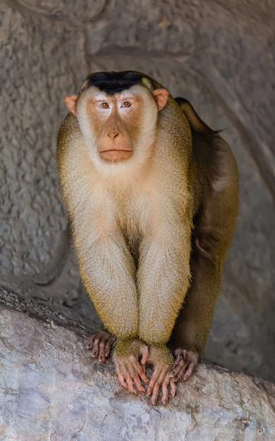 Samiec Małpa Z Uczuciem Samotny Premium Zdjęcia