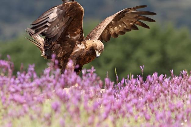 Samiec Orła Przedniego Wśród Fioletowych Kwiatów Z Pierwszym światłem Poranka Premium Zdjęcia