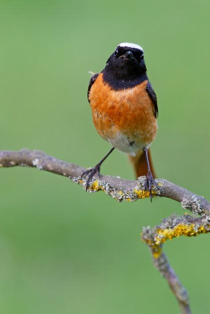 Samiec Zwyczajny Na Nowo Z Ostatnimi światłami Popołudnia, Ptaki, Phoenicurus Phoenicurus Premium Zdjęcia