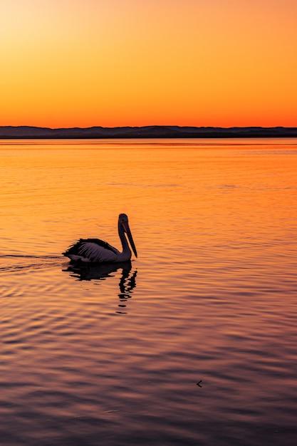Samotny Pelikan Pływający W Morzu Z Pięknym Widokiem Na Zachód Słońca Darmowe Zdjęcia