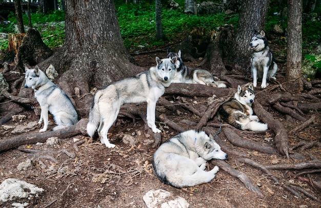 Sanie Psie Husky Zatrzymane Pod Drzewem. Premium Zdjęcia