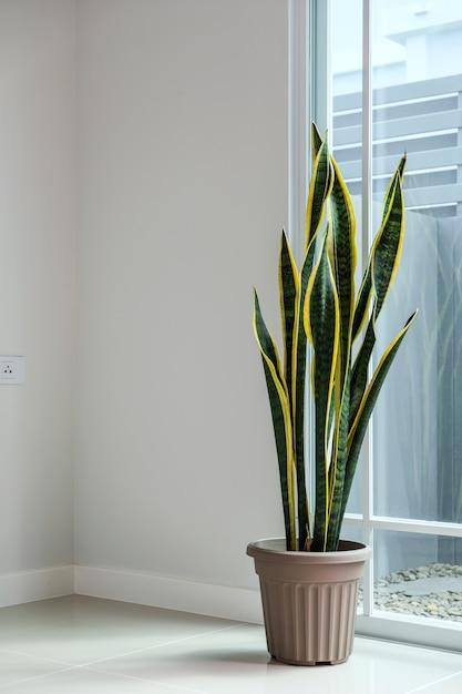 Sansevieria lub wąż roślina w domu Premium Zdjęcia