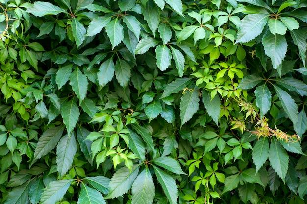 Ściana Zielonych Roślin. Naturalne Tło Roślin Tropikalnych, Tekstura I Wzór Dżungli Premium Zdjęcia
