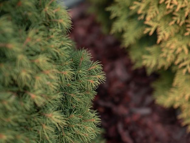 Selekcyjnej Ostrości Zbliżenia Strzał Zielone Sosnowe Gałąź Darmowe Zdjęcia