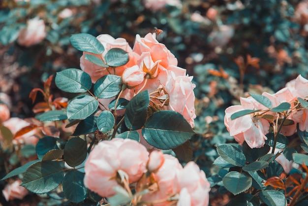 Selekcyjny Zbliżenie Strzał Zielone Liściaste Brzoskwini Róże Darmowe Zdjęcia
