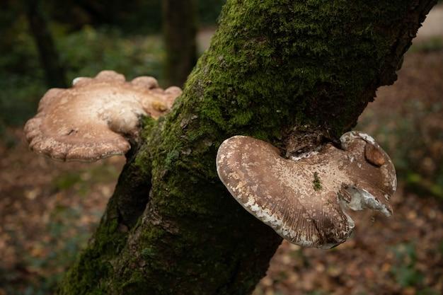 Selektywne Fokus Strzał Dwóch Grzybów Birch Polypore Common White Bracket Darmowe Zdjęcia