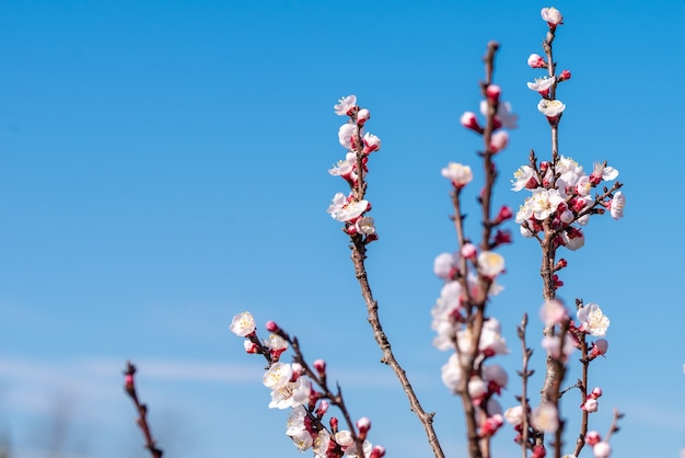 Selektywne Fokus Strzał Kwitnące Drzewo Morelowe Z Jasnego Nieba Darmowe Zdjęcia