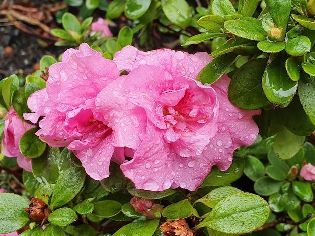 Selektywne Fokus Strzał Piękne Różowe Kwiaty Rodziny Godzina Czwarta Na Krzaku Darmowe Zdjęcia