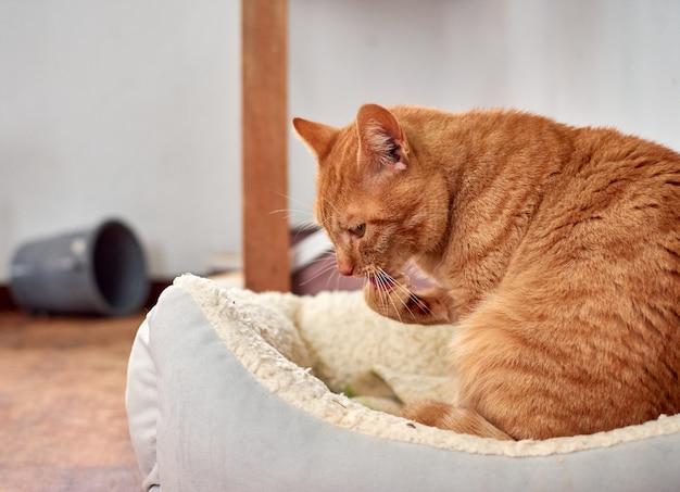Selektywne Fokus Strzał Rudy Kot Liże Jego łapę Językiem Premium Zdjęcia