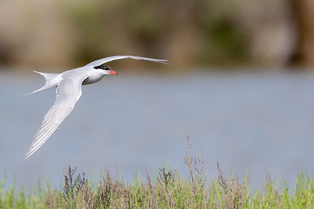 Selektywne Fokus Strzał Rybitwy Popielatej Lecącej Nad Rzeką Darmowe Zdjęcia