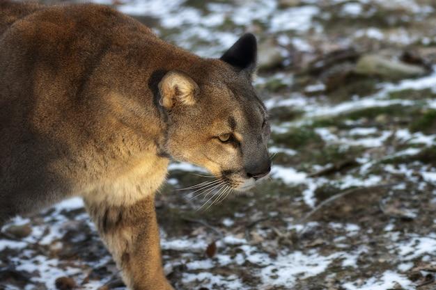 Selektywne Fokus Strzał Z Cougar Spaceru Darmowe Zdjęcia