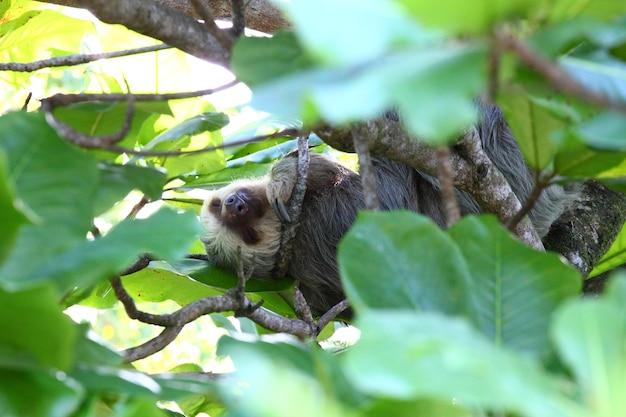 Sfilmowane Ujęcie Uroczego Leniwca śpiącego Wygodnie Na Gałęziach Drzew Darmowe Zdjęcia