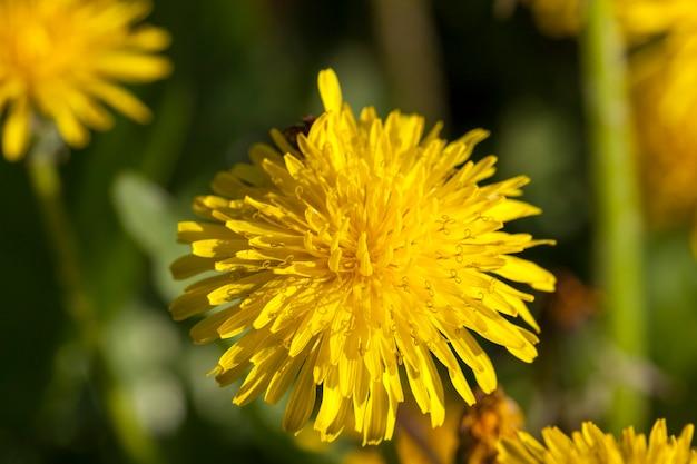 Sfotografowany Zbliżenie żółte Mlecze Na Wiosnę, Płytkiej Głębi Ostrości Premium Zdjęcia