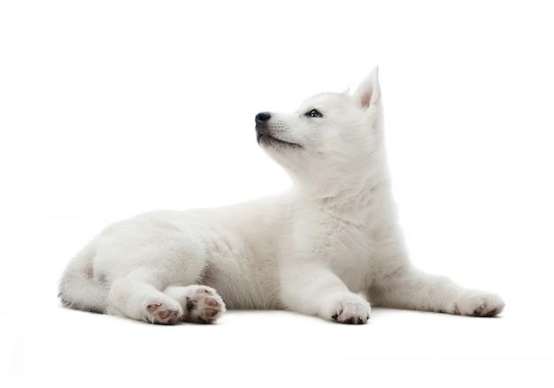Shot Of Cute Little White Siberian Husky Puppy Leżącego Patrząc Na Copyspace Z Boku Na Białym Tle. Darmowe Zdjęcia