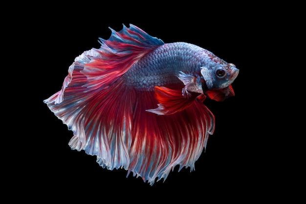 Siam Betta Fish Darmowe Zdjęcia
