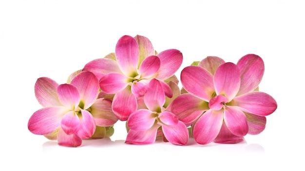 Siam tulipan lub kurkumowy kwiat w tajlandia na białym tle Premium Zdjęcia