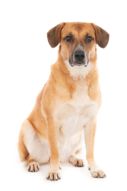 Siedzący Mieszaniec Pies Pasterski Z Portugalii, Patrząc Na Kamery. Biały. Premium Zdjęcia