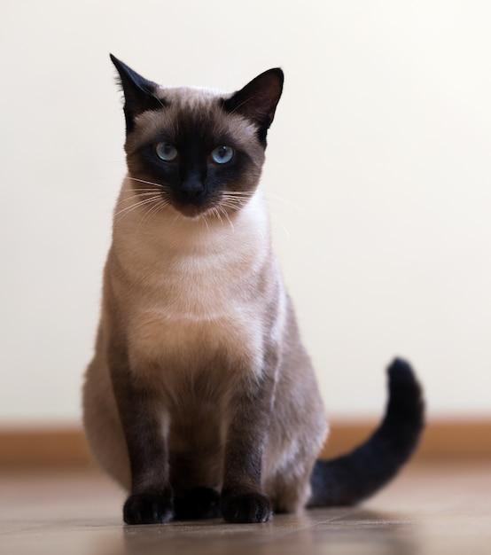 Siedzi młody dorosły kot syjamski Premium Zdjęcia