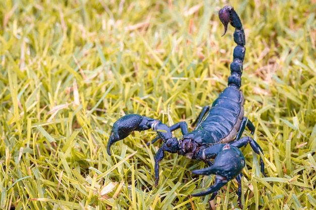 Skorpion Na Rozmycie Trawy Premium Zdjęcia