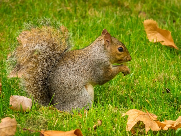 Śliczna Wiewiórka Bawi Się Opadłymi Suchymi Liśćmi Klonu W Parku W Ciągu Dnia Darmowe Zdjęcia