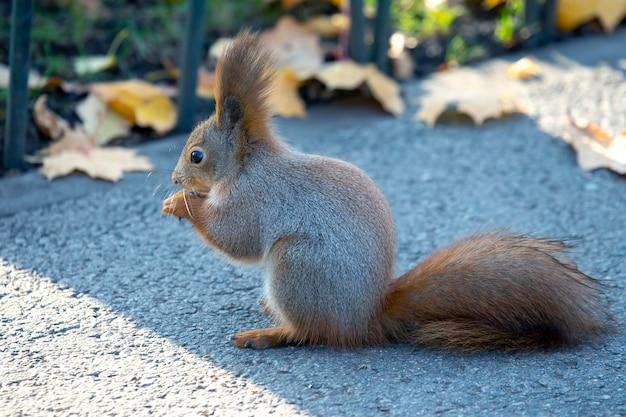 Śliczna Wiewiórka Siedzi Na Drodze W Parku Premium Zdjęcia