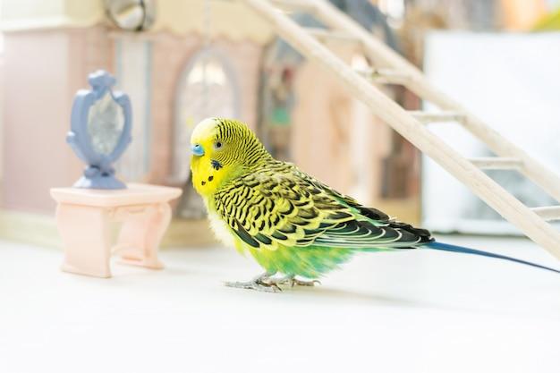 Śliczna Zielona Papuga Budgie Siedzi W Pobliżu Zabawkowego Lusterka Premium Zdjęcia