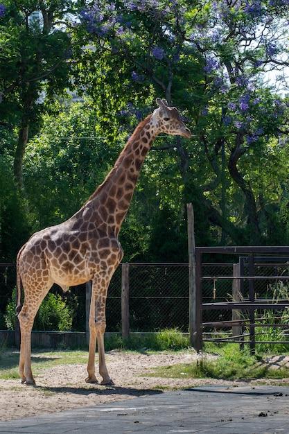 Śliczna żyrafa Stojąca Pod Drzewami Wewnątrz Ogrodzenia Darmowe Zdjęcia