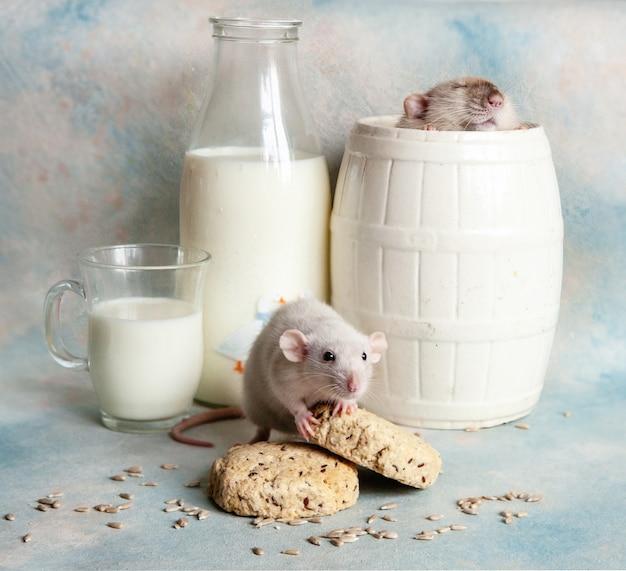 Śliczne małe szare szczury, myszy w kompozycji z mlekiem i ciastkami, Premium Zdjęcia