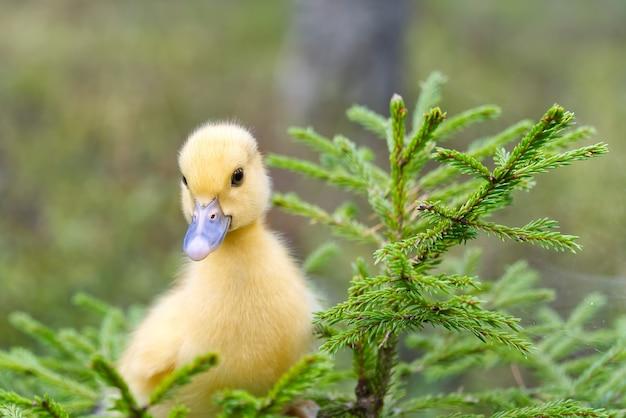 Śliczne Małe żółte Kaczątko Spacerują Po Zielonej Trawie W Wiosennym Lesie. Wielkanoc Młoda Koncepcja Kaczątko. Dzikiej Przyrody Premium Zdjęcia