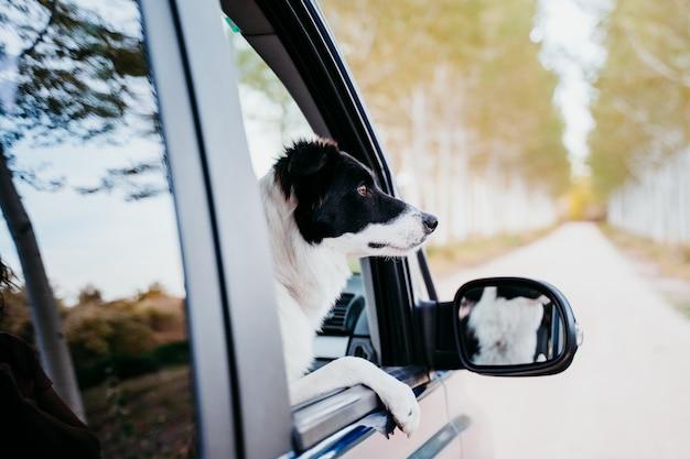 Śliczny Border Collie Pies Patrzeje Okno Samochodem Dostawczym. Koncepcja Podróży Premium Zdjęcia