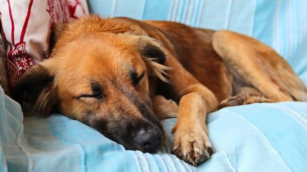 Śliczny Brązowy Pies śpi Spokojnie Na Niebieskiej Poszewce Sofy Darmowe Zdjęcia